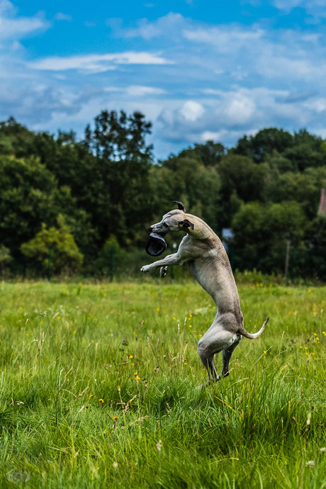 Cocker Spaniel - Border Collie - Hund - Hundefotografie