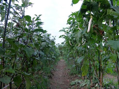 ミモレ農園 農薬不使用 なす
