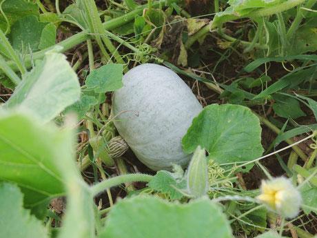 ミモレ農園 農薬不使用 夢味かぼちゃ