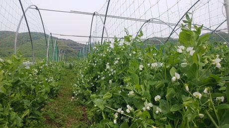 ミモレ農園 農薬不使用 くれない総太り大根