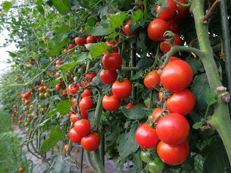 ミモレ農園 完熟トマト