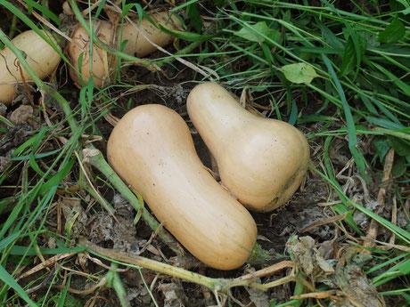 ミモレ農園 農薬不使用 バターナッツかぼちゃ
