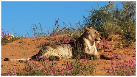 Lion de Namibie