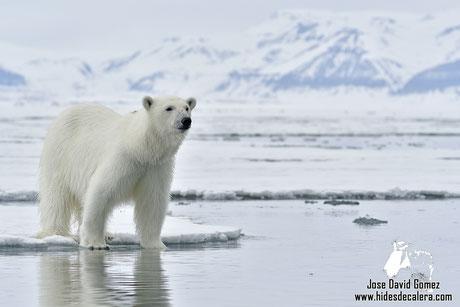 Expedicion fotográfica oso polar