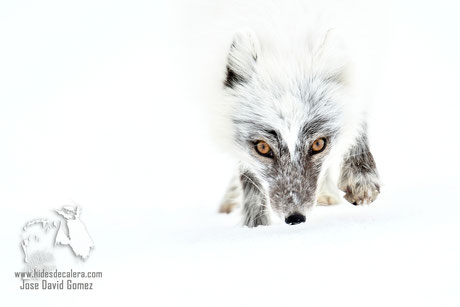 Zorro polar ártico