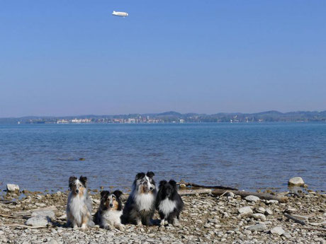 die A B C Shelties - Amor, Bella, BlueBoy u.Cheeky samt Zeppelin am Bodensee