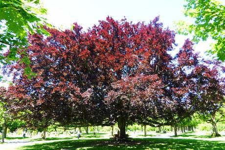 Foto Claudia Furer Moser;  Baum  im Bremgartenfriedhof Bern