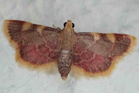 Heuzünsler (Hypsopygia costalis)