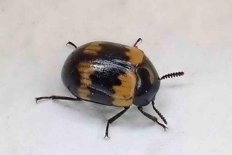 Schwarz- oder Dunkelkäfer (Tenebrionidae)