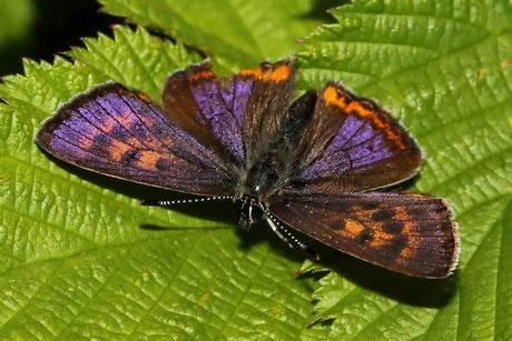 Blauschillernder-Feuerfalter  (Lycaena helle)