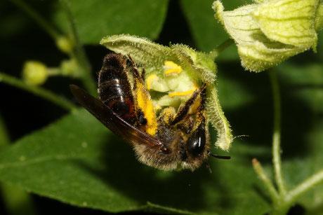 Zaunrüben-Sandbiene (Andrena florea)