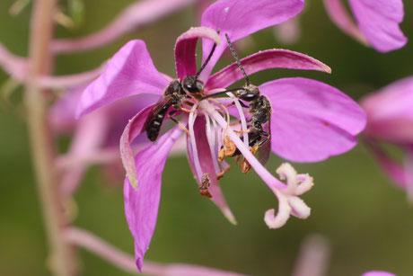 Furchenbienen  (Lasioglossum)