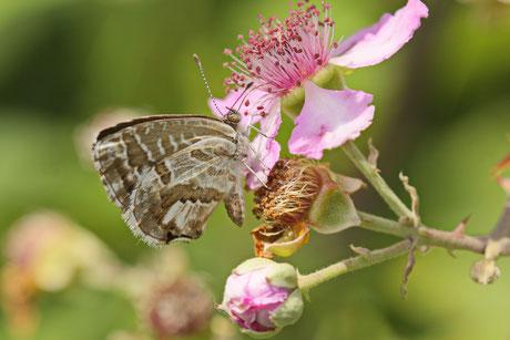 Pelargonien-Bläuling Cacyreus marshalli