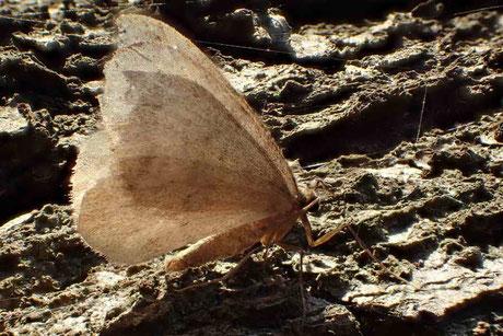 Kleiner Frostspanner (Operophtera brumata)