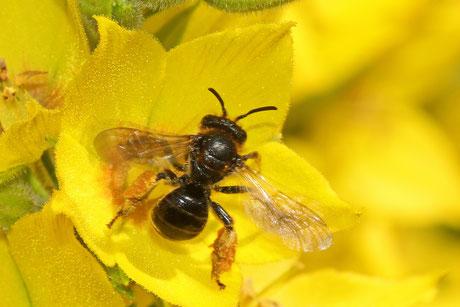 Schenkelbienen (Macropis)