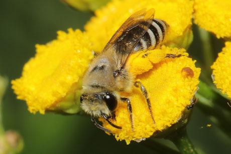 Buckel-Seidenbiene (Colletes daviesanus)