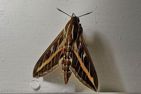 Linienschwärmer (Hyles livornica) Griechenland