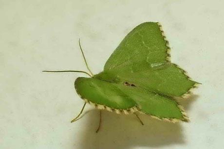Gebüsch-Grünspanner (Hemithea aestivaria)