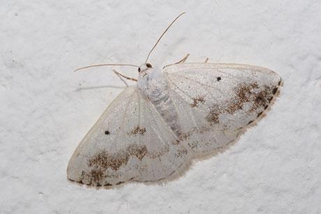 Schattenbinden-Weißspanner (Lomographa temerata)