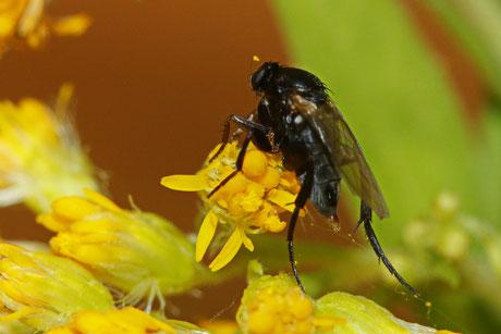 Phoridae (Buckelfliege) spec.