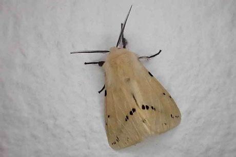 Gelber Fleckleibbär (Spilosoma lutea)