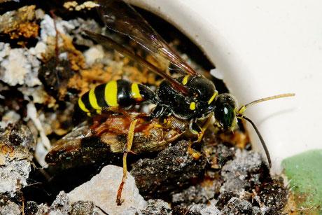 Zikaden Grabwespe Gorytes laticinctus