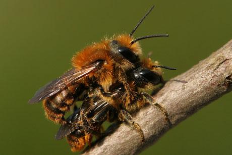 Mauerbienen / Scherenbienen (Osmia)