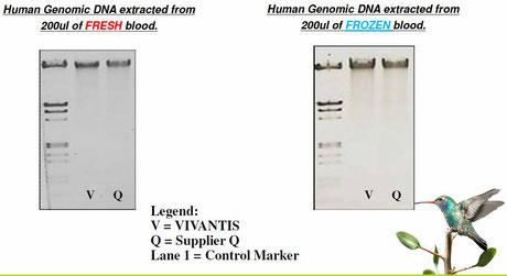 DNA aufreinigung aus blut, blood dna isolation
