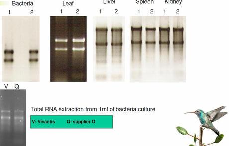 Aufreinigung von RNA aus Gewebe
