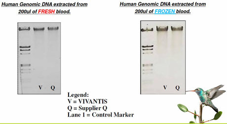 DNA Extraktion aus Blut