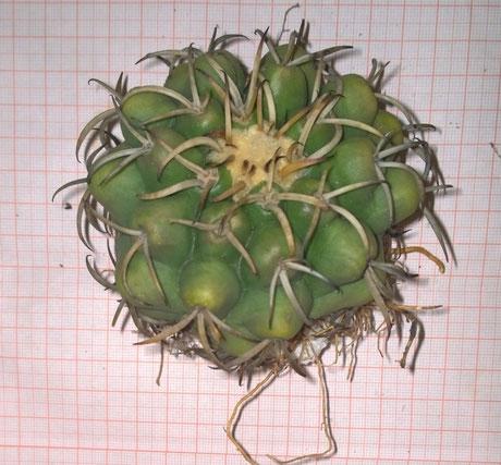 Discocactuss heptacanthus subsp. goiasensis Isotype