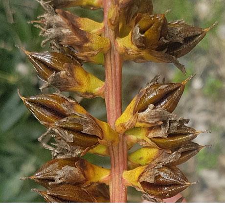 Dyckia vilsonii