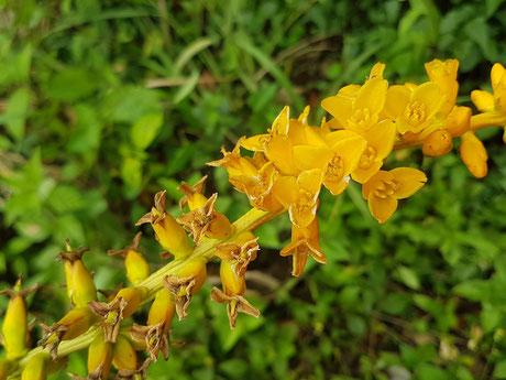 Dyckia vilsonii (Foto: Gastaldi)