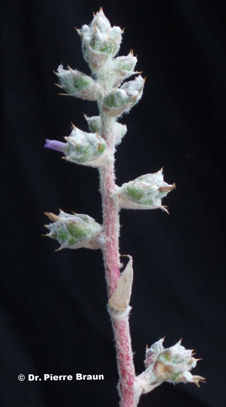 Hohenbergia leopoldo-horstii