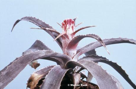Bromelia horstii, Pflanze aus Holotypaufsammlung / plant of holotype collection / planta da coleção de holótipo
