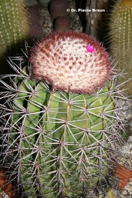 Melocactus roraimensis