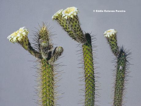 Leocereus estevesii (links/left/esquerda) - L. bahiensis ssp. exiguospinus (Mitte/middle/meio) - L. bahiensis ssp. bahienis (rechts/right/direita)