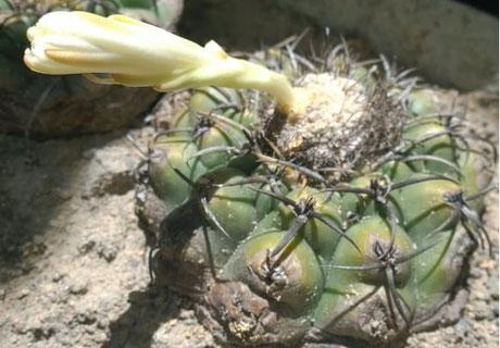 Discocactus heptacanthus subsp. goiasensis Isotye (Photo: Bruno Goncalves Brito)