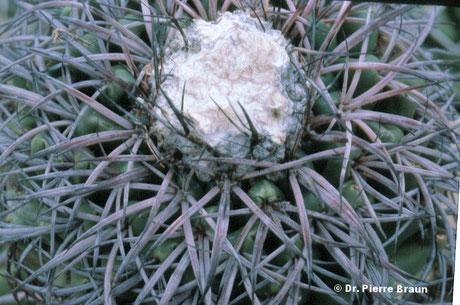 Discocactus placentiformis ssp. multicolorispinus, Holotype