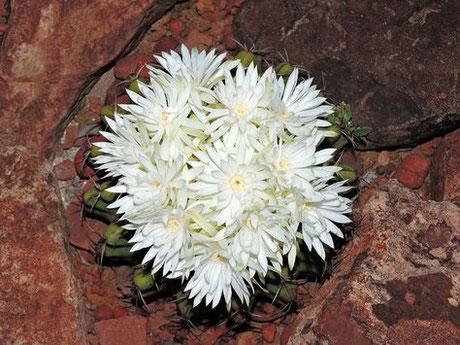 Discocactus fariae-peresii