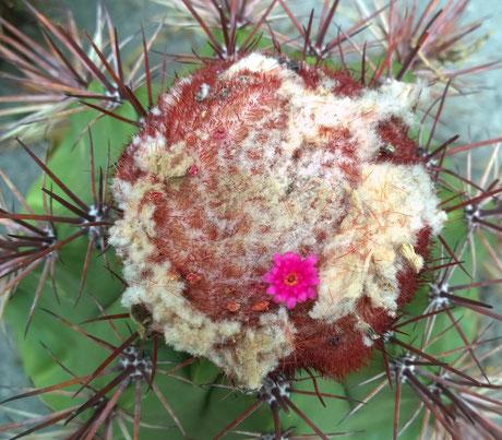 Melocactus heimenii
