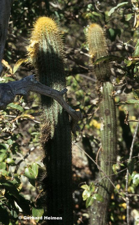 Pilosocereus aurilanatus