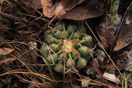 Discocactus heptacanthus subsp. goiasensis, Typstandort, type locality  (Photo: Karlheinz Tank))