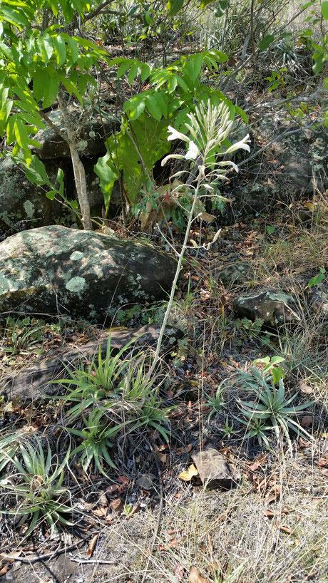 Pitcairnia volker-schaedlichii