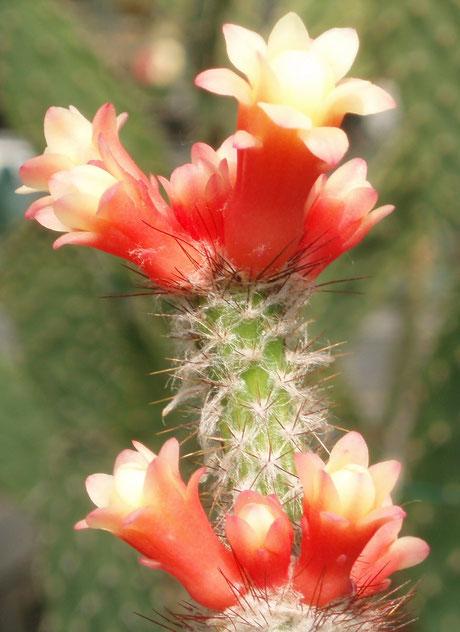 Arrojadoa multiflora