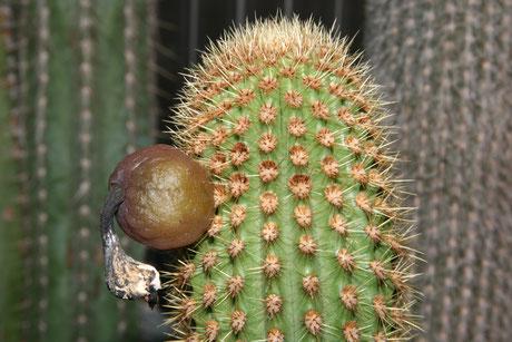 Pilosocereus piauhyensis ssp. gaturianensis