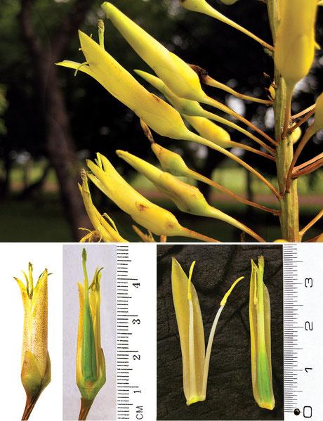 Encholirium joisnoi-narcisae