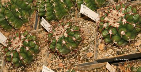 Discocactus crassispinus ssp. araguaiensis