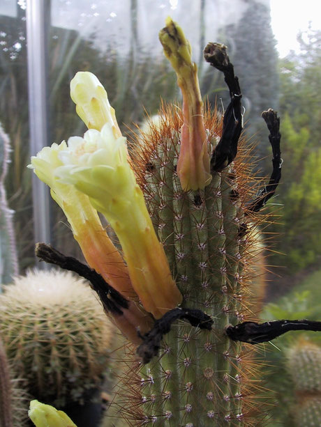 Cipocereus pleurocarpus