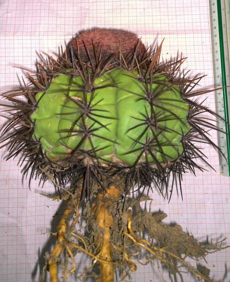 Melocactus heimenii (Isotyp SP)